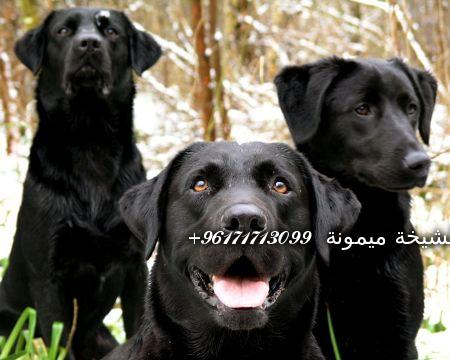 black_labrador_retrievers