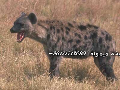 hyena-05